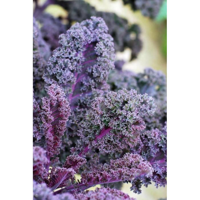 Chou kale violet (par 3) -...